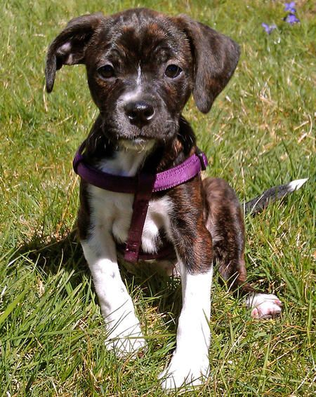 Maddie The Mixed Breed Pictures 905161 Pitbull Terrier Cute