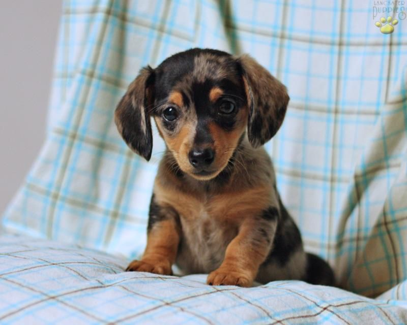 Ahhhhh Next Summer Goal Adopt A Dachshund Puppy Name It Roo