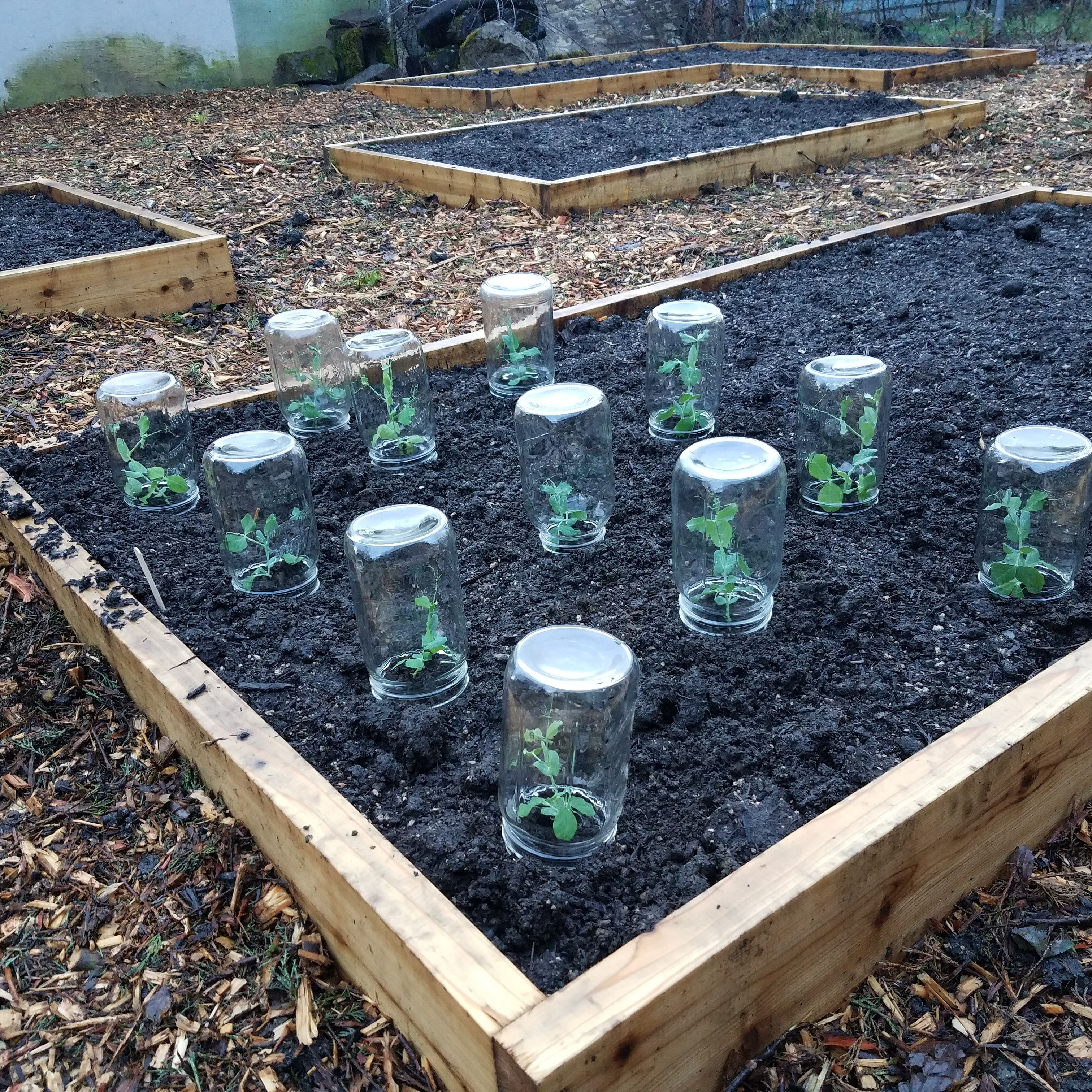 Trying Jar Cloches This Year Gardening Garden Diy Home