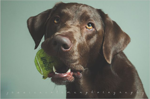 Lab With Images Cute Dog Pictures Labrador Art Dog Pictures
