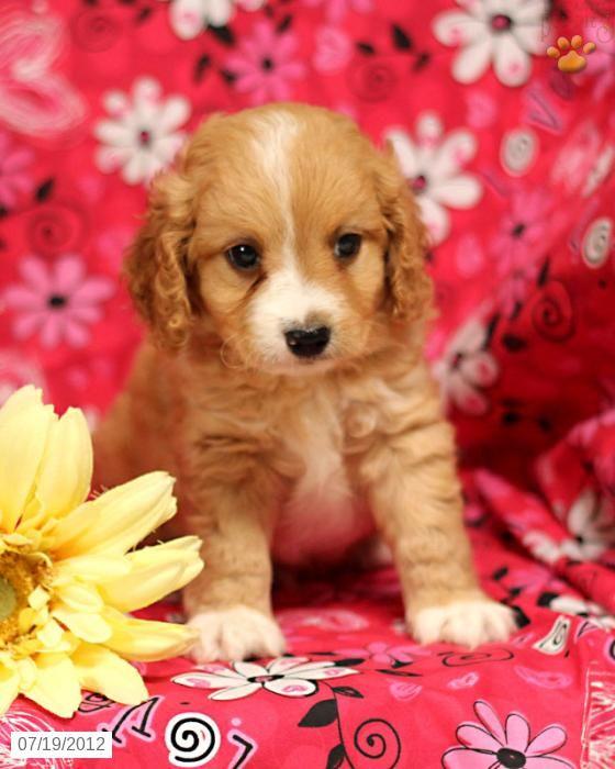 Cavapoo Puppy For Sale Cavapoo Puppies Puppies Lancaster Puppies