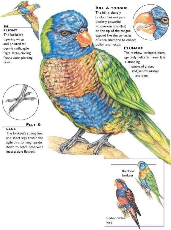 Rainbow Lorikeet Parrot Facts Bird Unit Study Birds