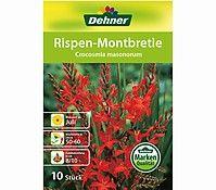 Dehner Blumenzwiebel Rispen-Montbretie 'Crocosmia masonorum'