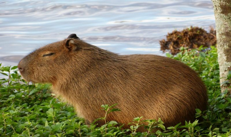 Amazing Animals That Start With The Letter C Capybara Cool Pets