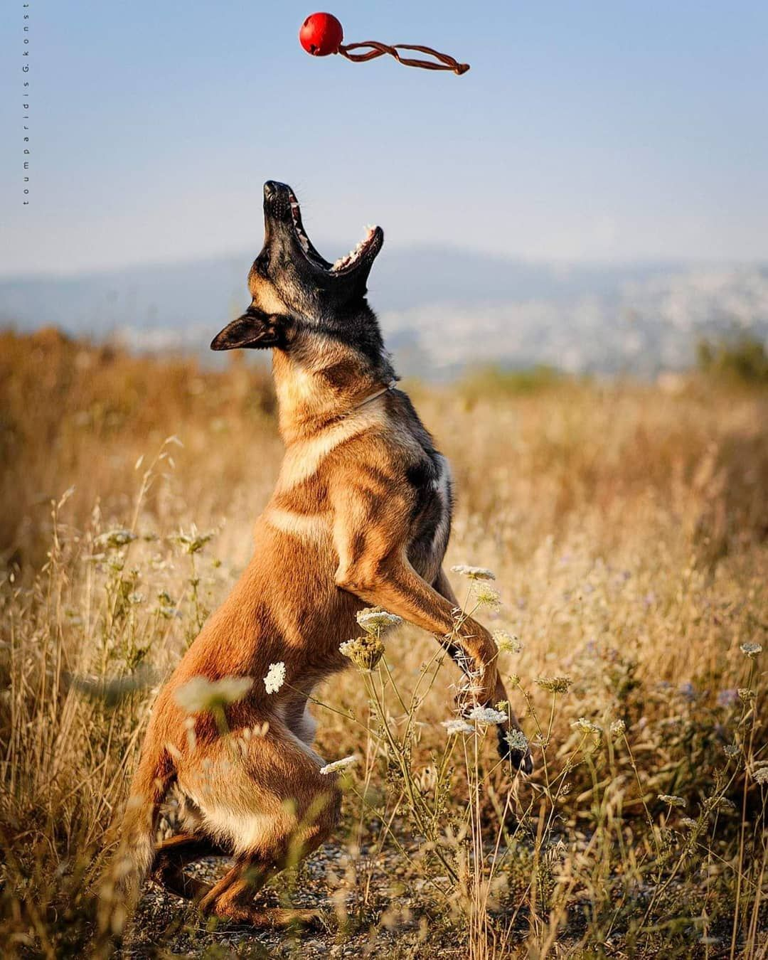 Earch And Rescue Dog Talos Malinois Dog Belgian Malinois Dog Search And Rescue Dogs