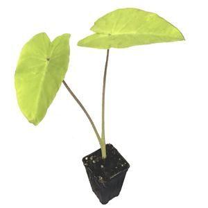 Colocasia esculenta - Elena - Elephant Ear