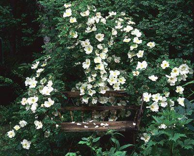 mjöldagg rosor
