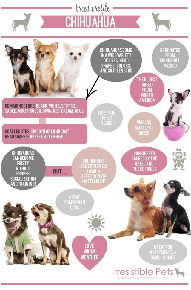 Pin By Snazzy Pup On Cute Chihuahuas Pinterest Chihuahua Breeds