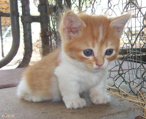 Orange White Munchkin Female Kitten Cute Animals Cats And Kittens Cats