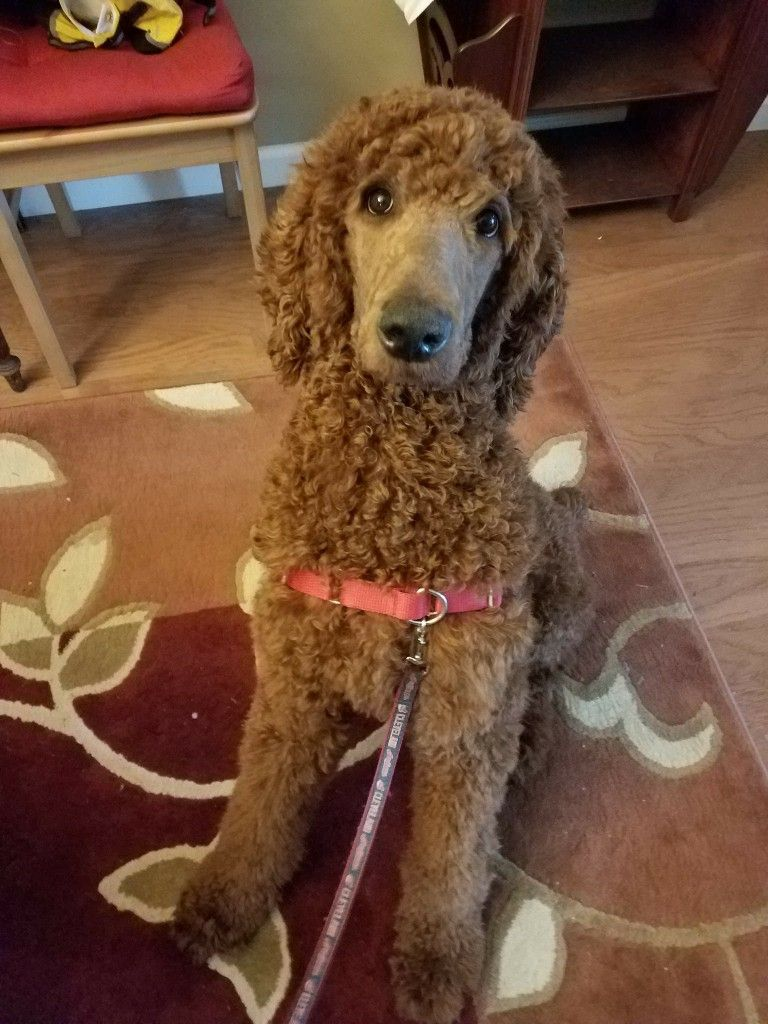7 Month Old Red Standard Poodle Puppy Poodle Puppy Poodle Puppy