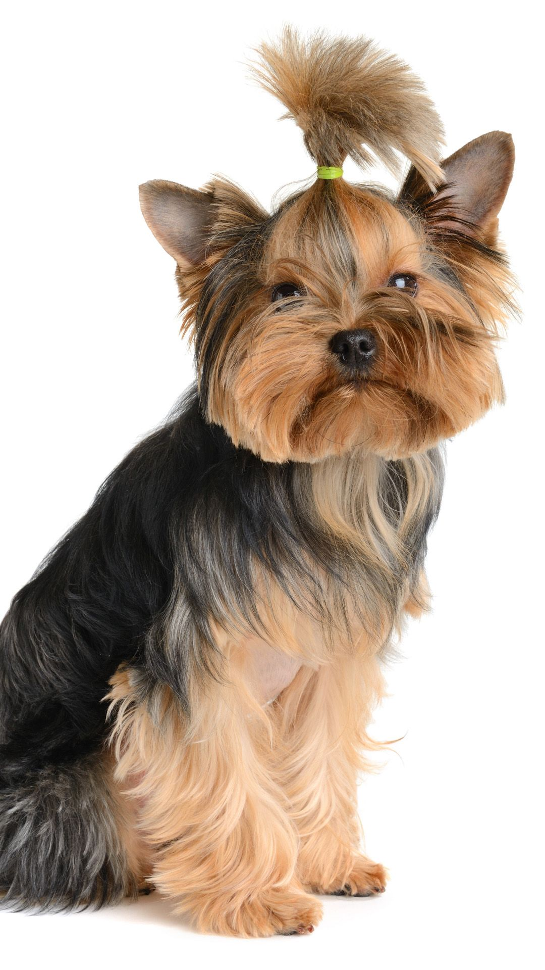 Cool Hairstyle Puppy Iphone 6 Wallpaper Download Iphone Wallpapers Ipad Wallpapers One Stop Download Puppies Yorkie Dogs Yorkie
