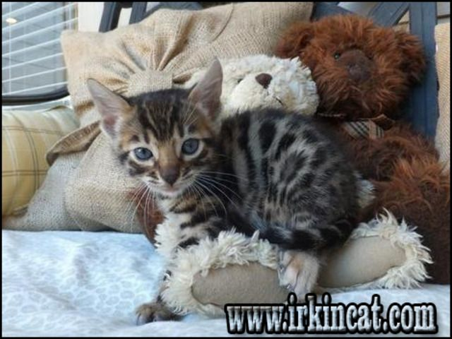 What You Don't Know About Bengal Kittens For Sale Sc