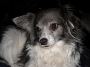 Foster Homes Needed Is An Adoptable Papillon Dog In Grove City Oh Ohio Toy Breed Rescue Is An All Volunteer Christian Rescue Toy Dog Breeds Papillon Dog Dogs