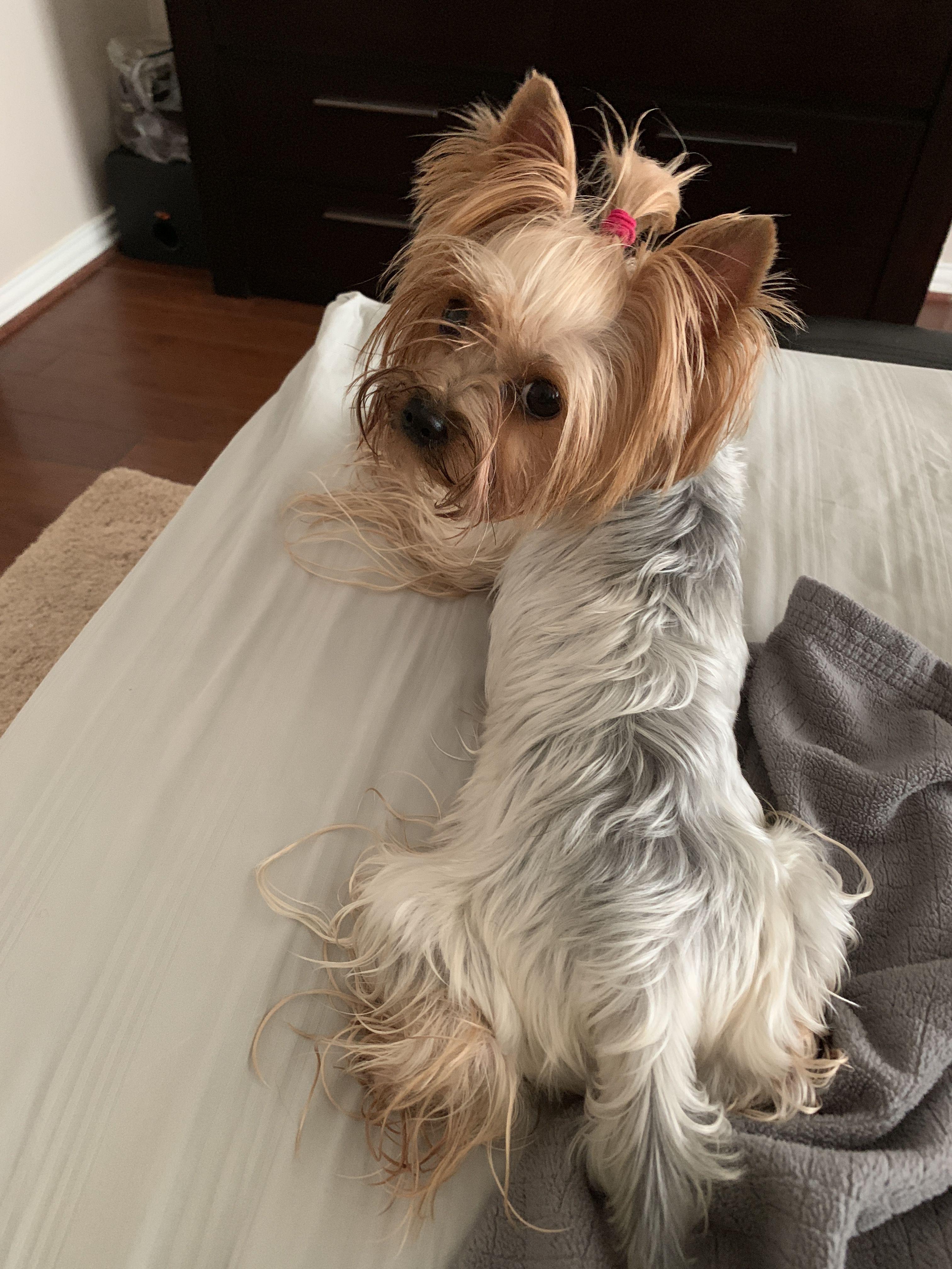 Must Love Yorkies By Cindy Davis Yorkshire Terrier Terrier Yorkshire
