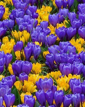 Crocus Barcelona Mix - Wholesale Crocus Flower Bulbs | DutchGrown®