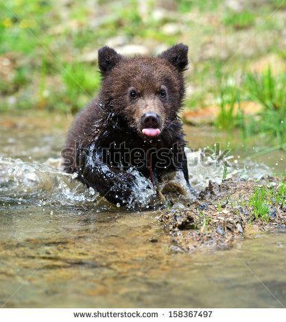 Bear in its natural habitat