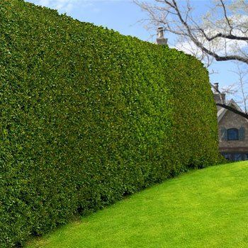 Variegated privet green walls screens and walls for Fast growing fence covering plants