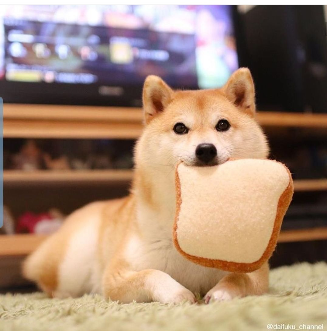 Dog Eating Bread Music Indieartist Chicago Cute Baby Animals Shiba Inu Dog Cute Animals