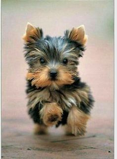 Yorkie Coming In For A Kiss Yorkshireterrierpuppy Yorkshire Terrier Dog Yorkshire Terrier Cute Baby Animals