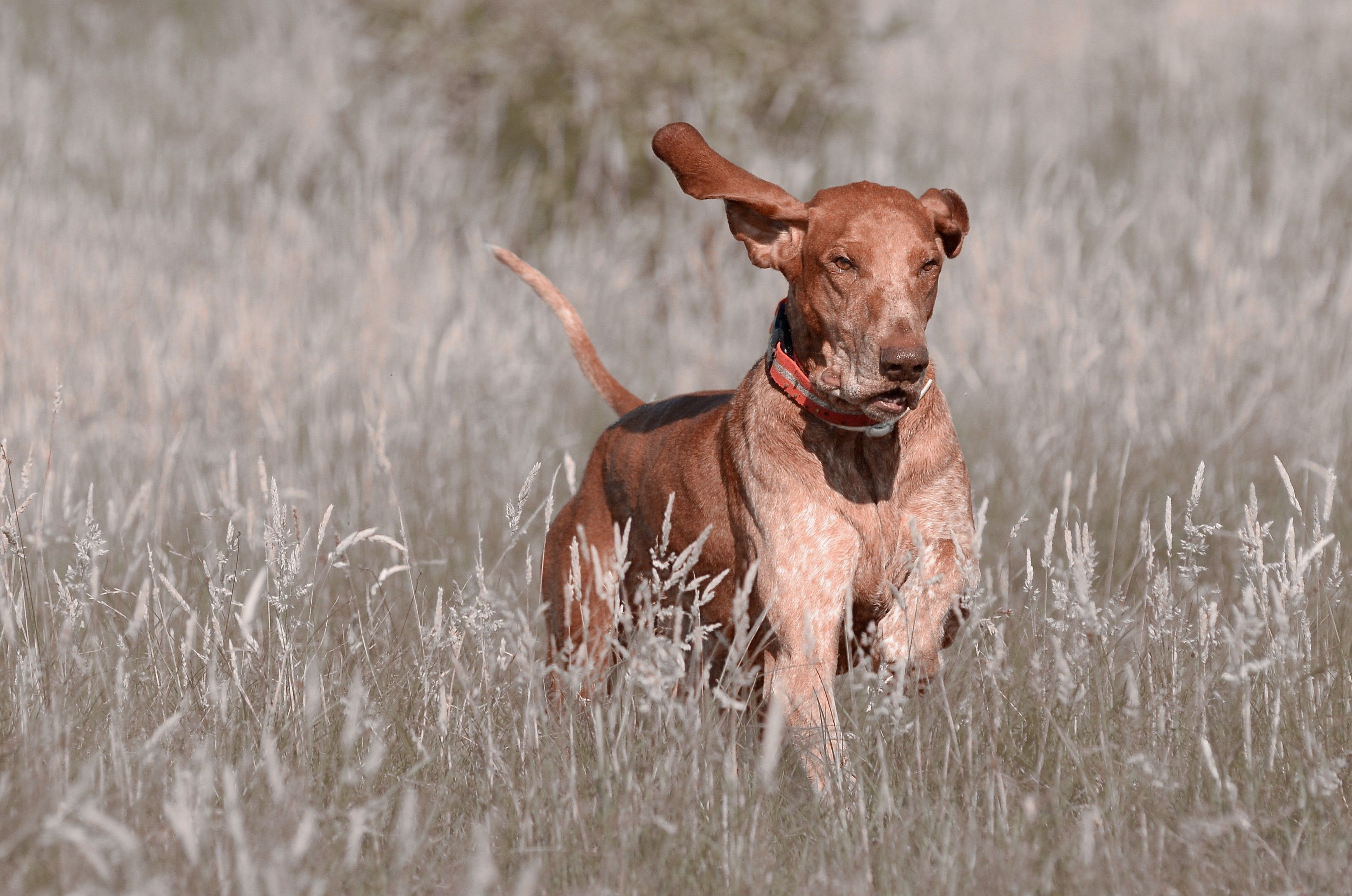BRACCO ITALIANO/ITALIAN POINTER Bracco italiano