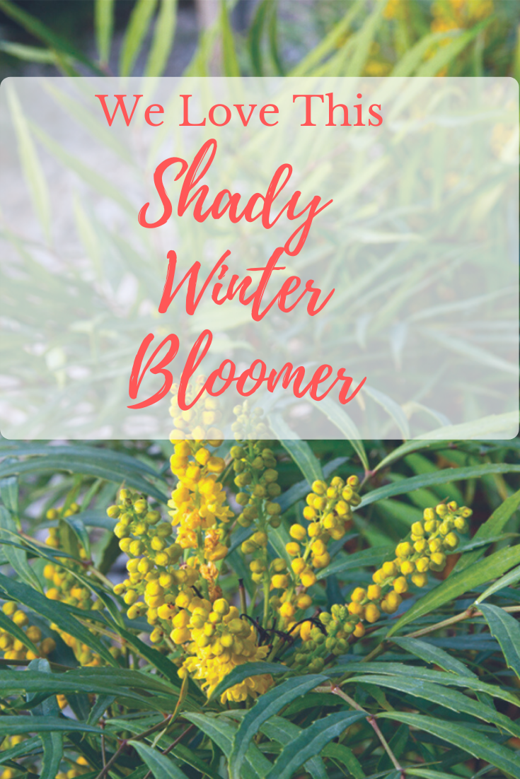 Having trouble with a shady garden spot? Take a look at how Linda Vater reworked a low-light space in her garden using Soft Caress Mahonia.    #southernliving #lindavater #mahonia #shadeplants #wintergardening #winterblooms #containerplants