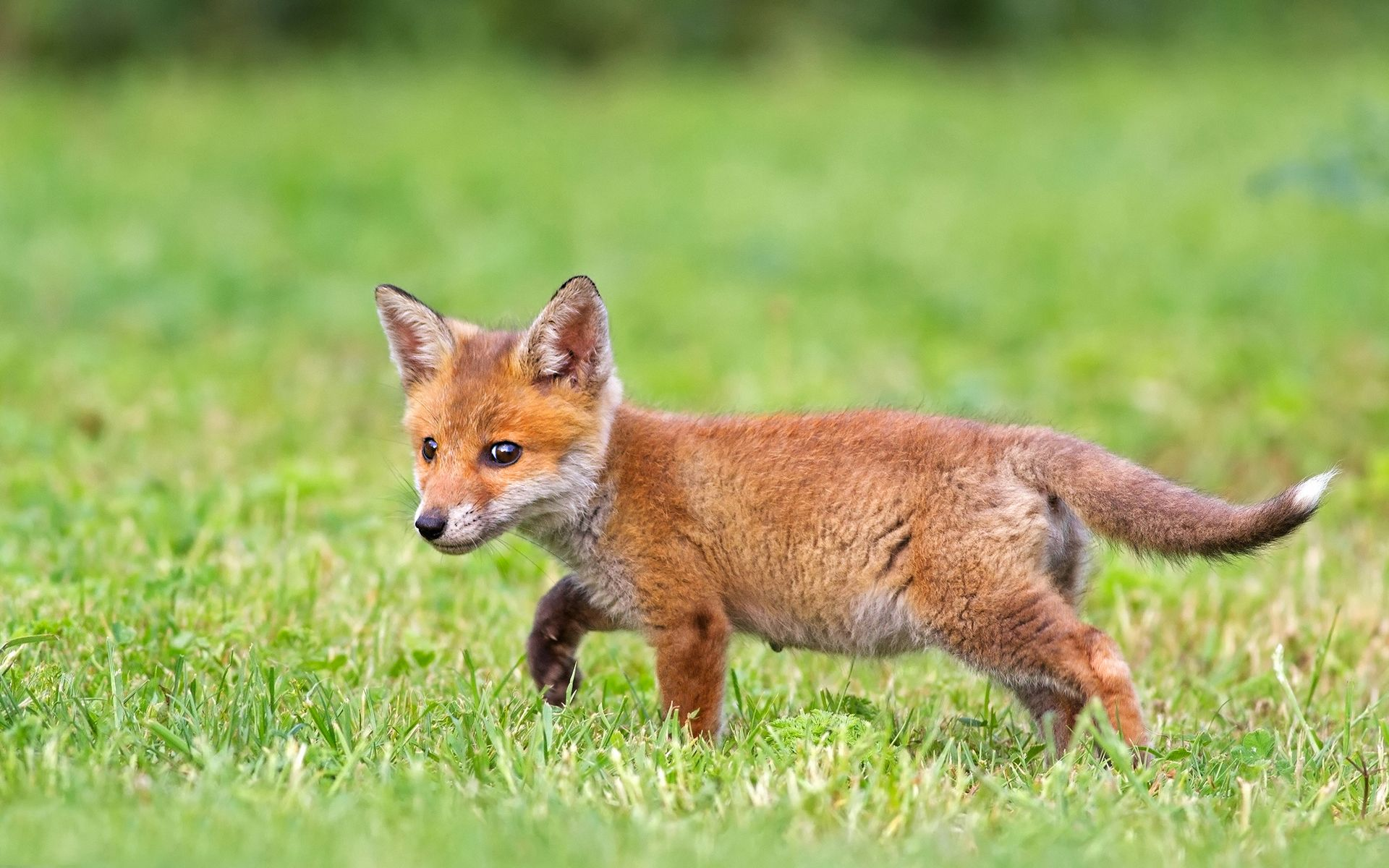 cute fox cub wallpapers foxes pinterest foxes cubs