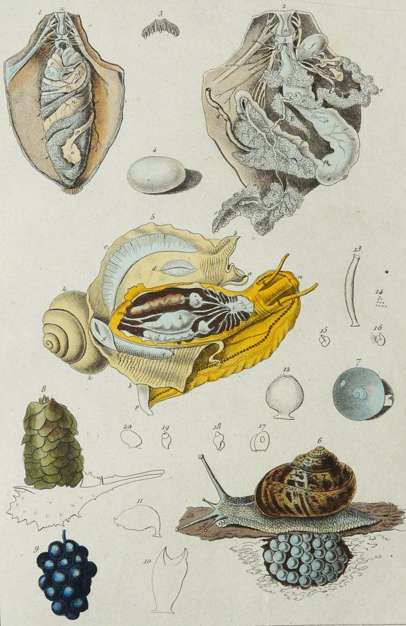 1836 Antique Rare Engraving Of Anatomy Of A Land Snail And Its Eggs