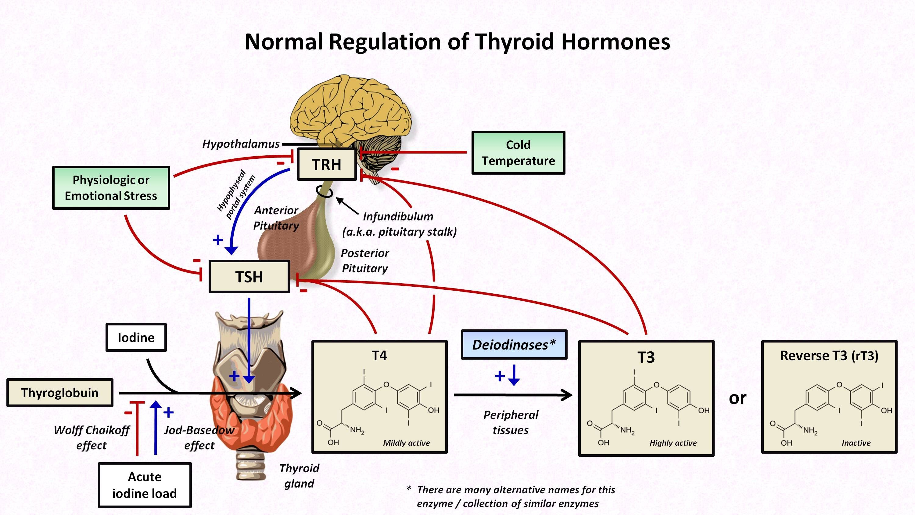 Thyroid Hormones And Thyroid Function Tests Thyroid Hormone