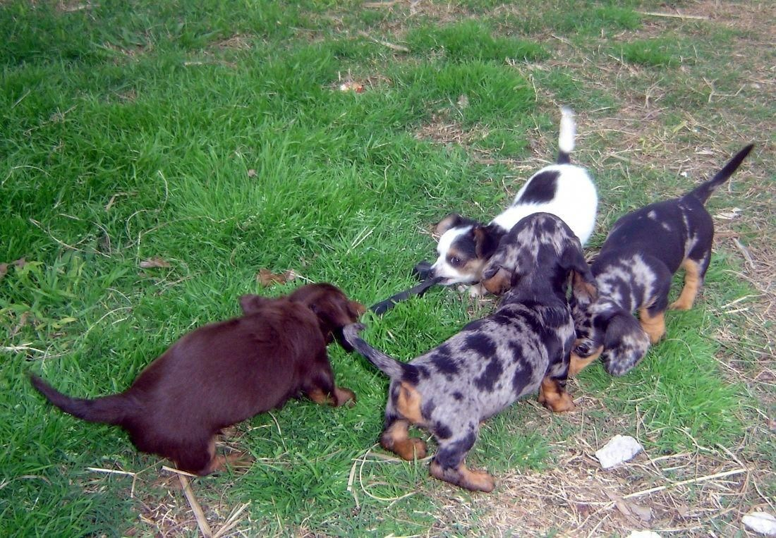 Dachshund Puppies Dallas Tx Dachshund Puppies Dachshund Puppies