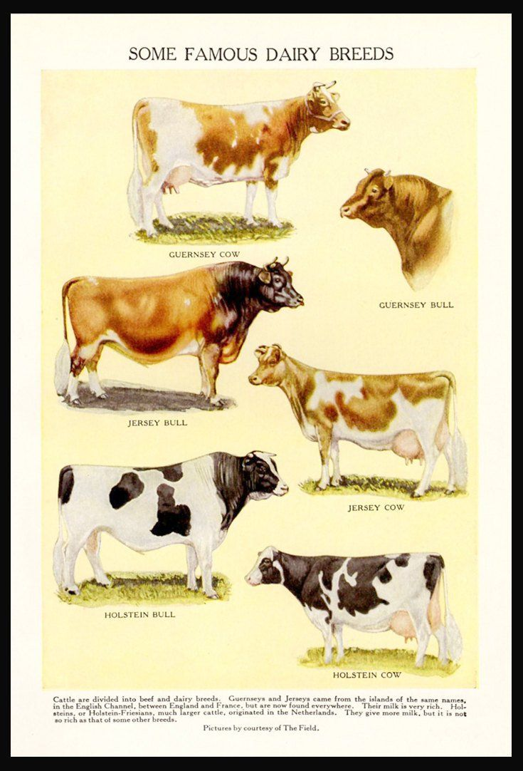 COWS Bulls Famous Dairy Breeds 1942 Vintage Kitchen Wall Decor ...