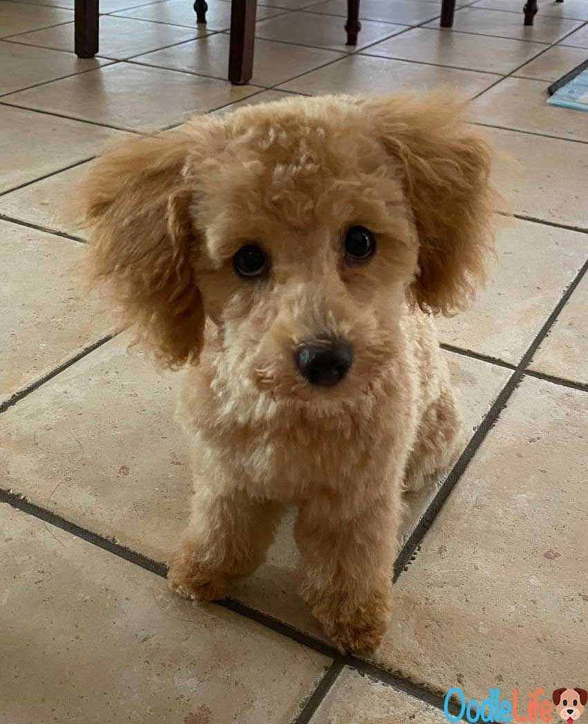 Maltipoo Puppy With Summer Haircut In 2020 Maltipoo Puppy Best Dog Food Healthy Dog Food Brands