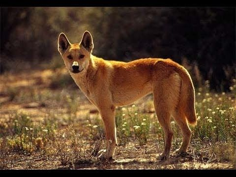 Documentary About The Australian Dingo Dingo Dog Wild Dogs Animals Wild