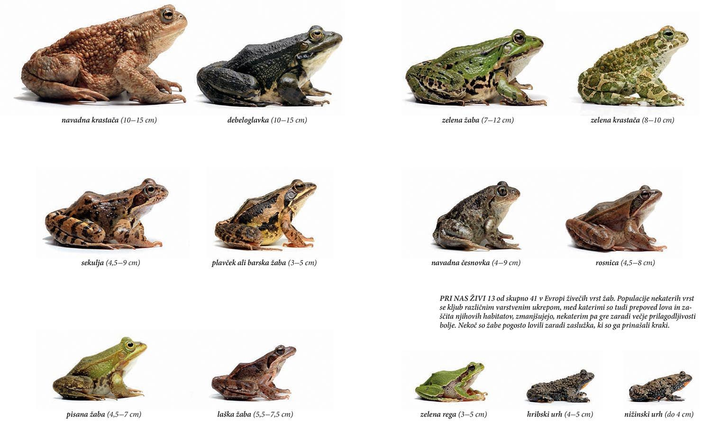 slovenske žabe 4