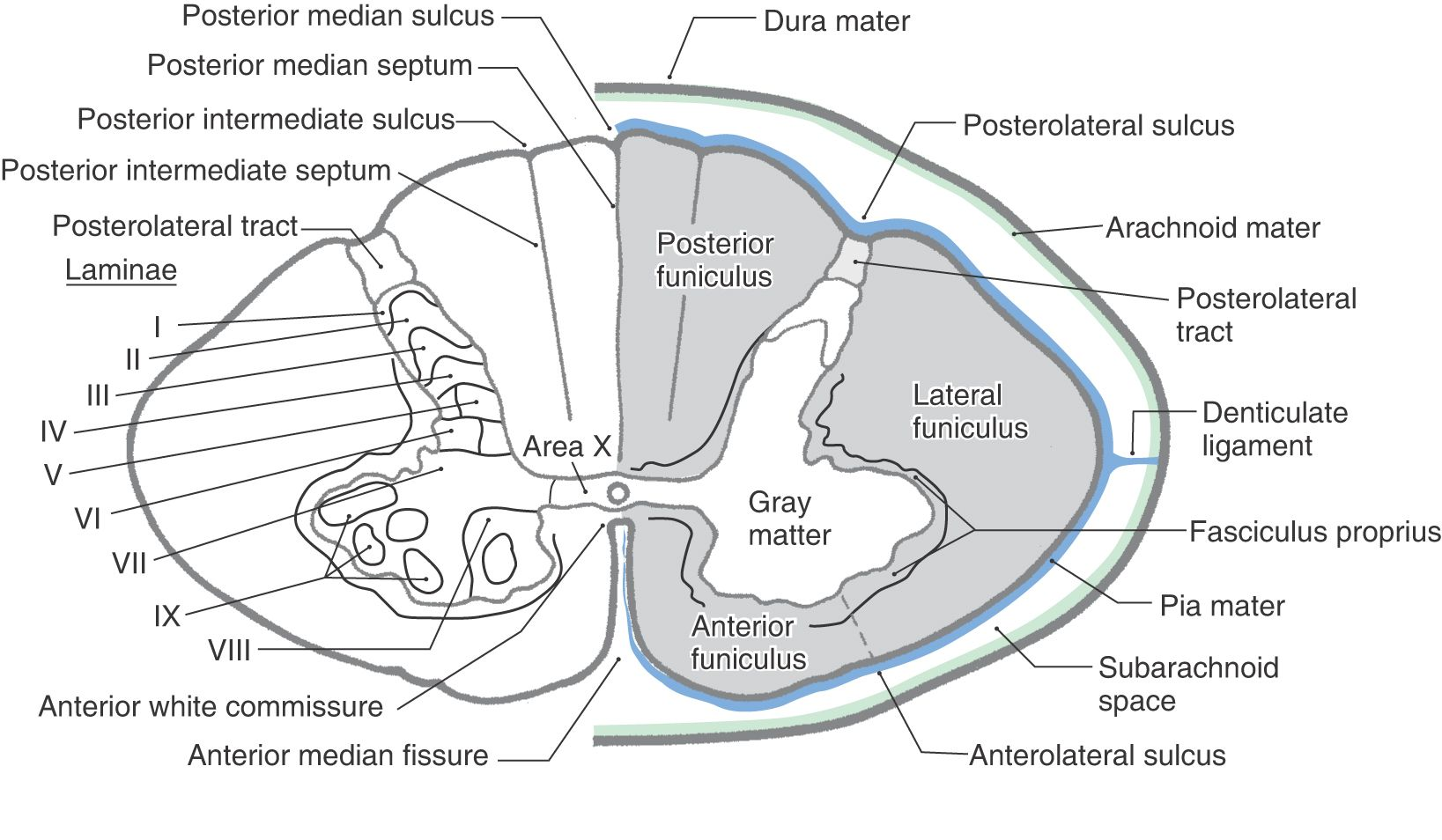 Pin von Suwadjana Thongsuk auf neuroanatomy   Pinterest
