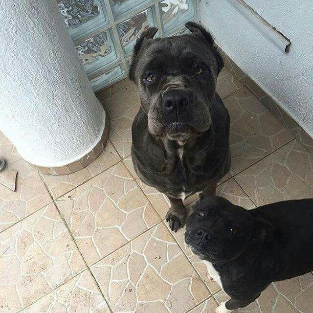 From I Love My Cane Corso Cane Corso Dog Life Animals