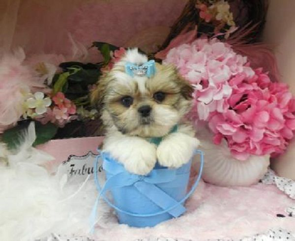 Teacup Shih Tzu Puppies For Sale In Nc Zoe Fans Blog Shih Tzu