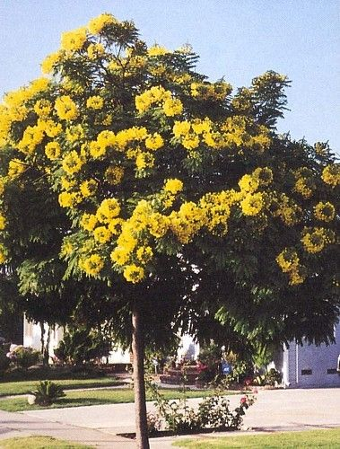 how to grow cassia from seed