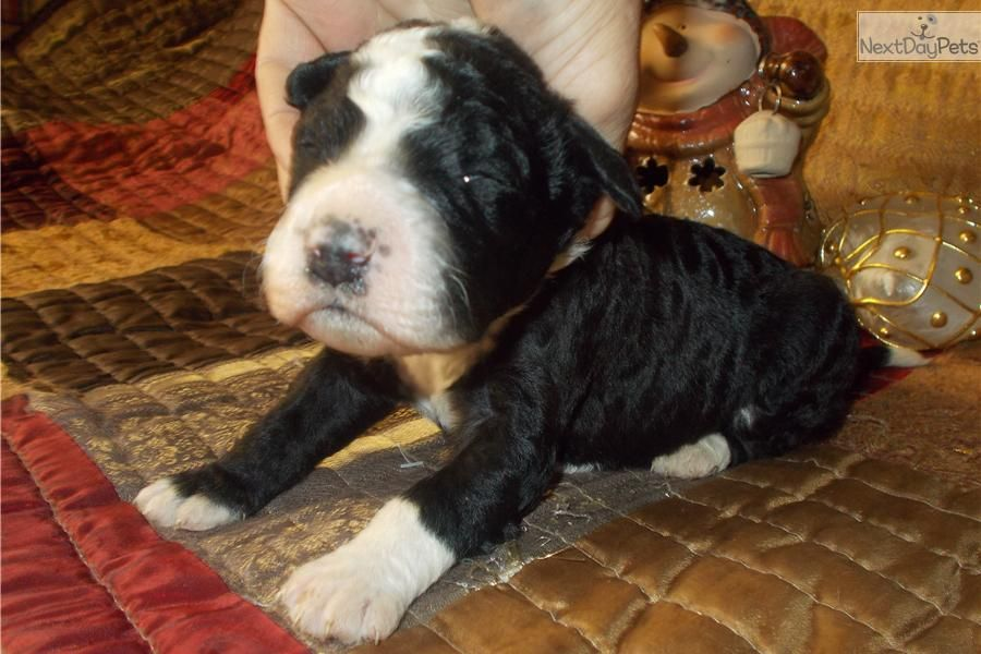 Meet heston a cute portuguese water dog puppy for sale for