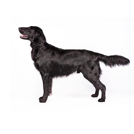 Flat Coated Retriever Welpen Hunde