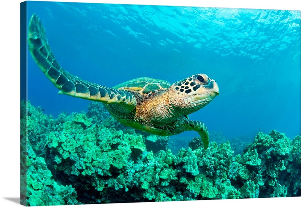 Close Up Endangered Green Sea Turtle Over Coral Reef In Makena Maui Hawaii In 2020 Sea Turtle Wallpaper Green Sea Turtle Sea Turtle