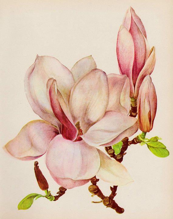 Vintage Pink Magnolia Flower Art Print Botanical Print Pink Flower Prints Art Flower Art Magnolia Flower