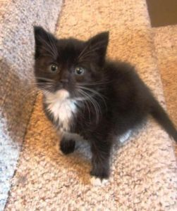 "Baby Male Cat ""Claude"" Victoria Cats & Kittens For Sale"