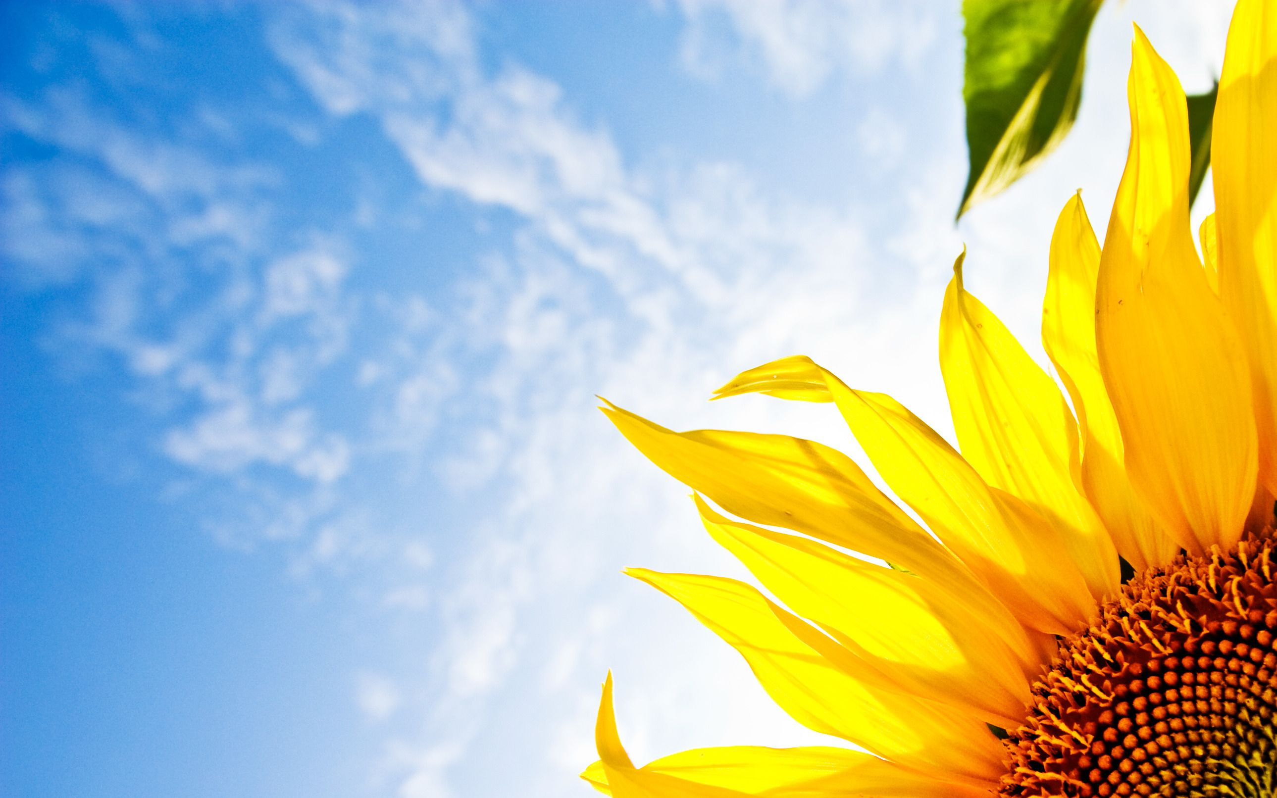 Windows 10 Wallpapers Free Wallpaper Desktop Chainimage Sunflower Wallpaper Sunflowers Background Blue Sky Wallpaper