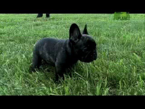 A Day In The Life Of A French Bulldog Puppy - YouTube | Faro the ...