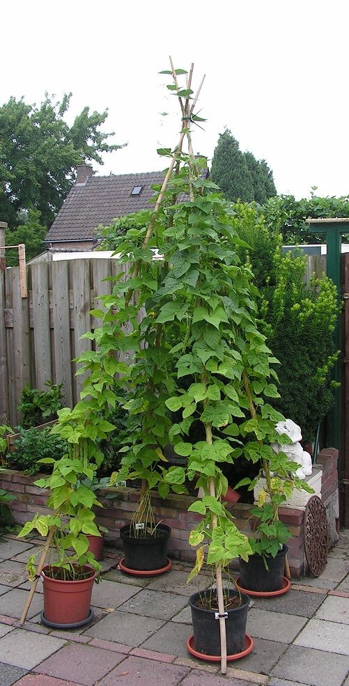 Photo of 39) Flower pots with bean stakes (in a small garden)