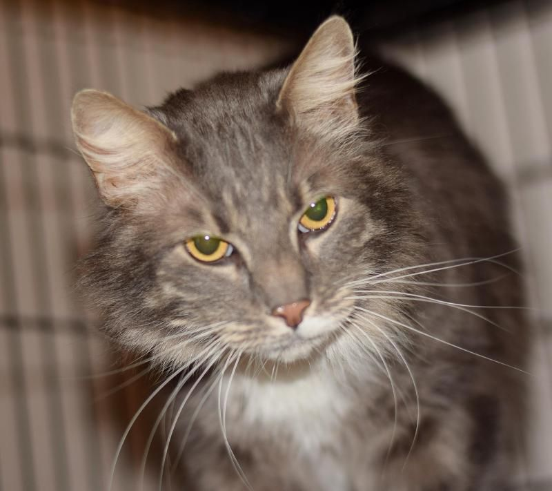 Meet Archie 60 A Petfinder Adoptable Domestic Long Hair Gray And White Cat Georgetown De Archie Is A Big Lo White Tabby Cat Grey And White Cat Tabby Cat