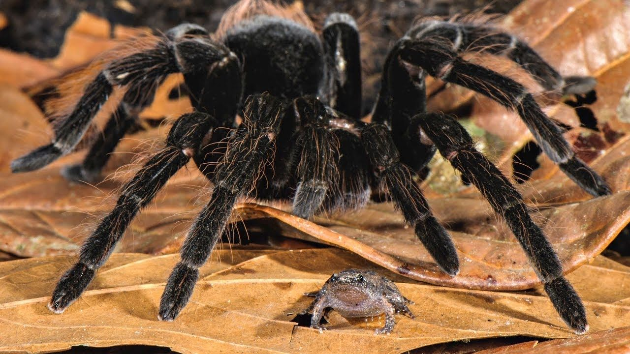Amazon Spiders Pets, Tarantula, Frog