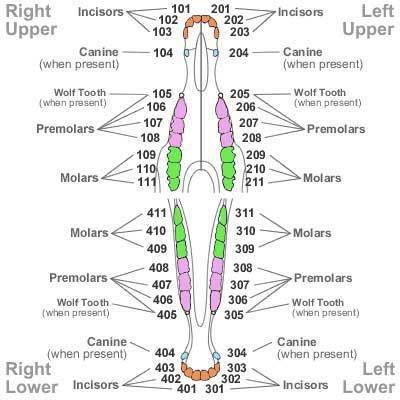 Equine Dentition   Veterinary Medicine   Pinterest   Horse, Horse ...