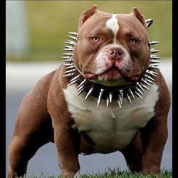 Cashpot Bully Dog American Bully Dog Tshirt