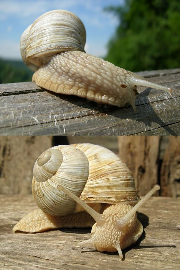 Roman snail (Helix pomatia)   Schnecken/snails   Pinterest ...